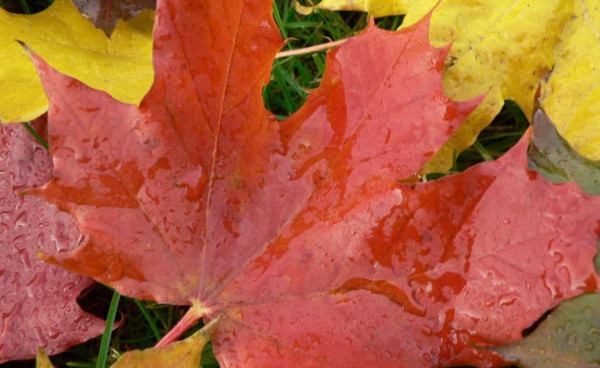 autumn-big-maple-leaves2